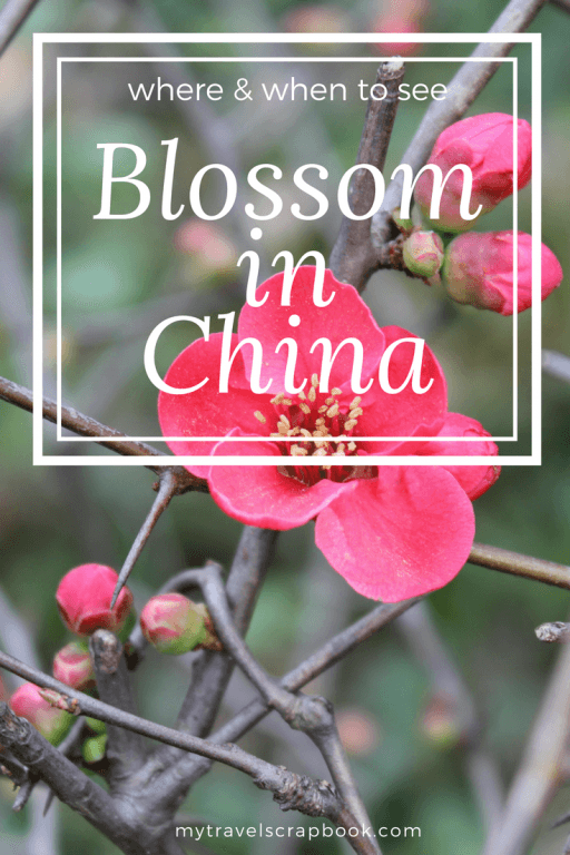 Want to know where the best spots and the best times of year to see blossom in China is? Forget Japan head to Shanghai around March/April time to discover many beautiful petals of pink, white and purple around the city and surrounding area. I have also included photos of the different types of blossom you can see. Click on this link to find out more!