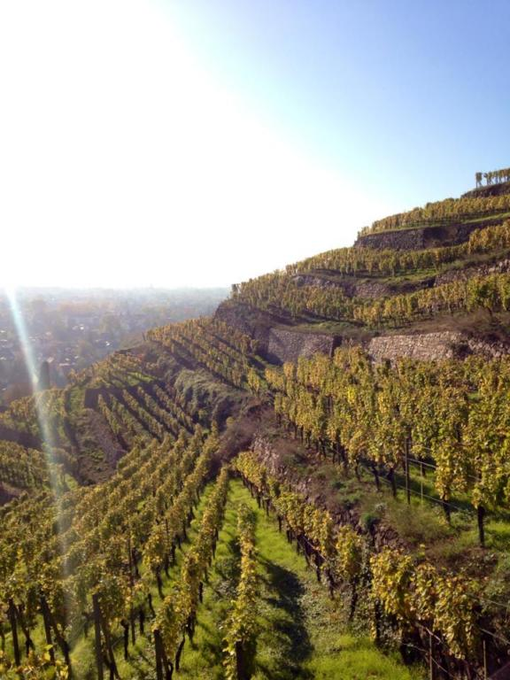 Radebeul Vineyards Saxony Dresden Sachsen Germany Hike Walk Federweiss Wine