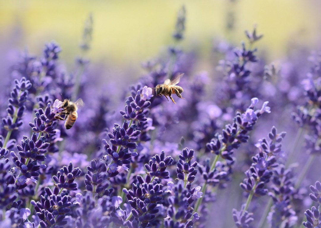 lavender bee vegan quotes