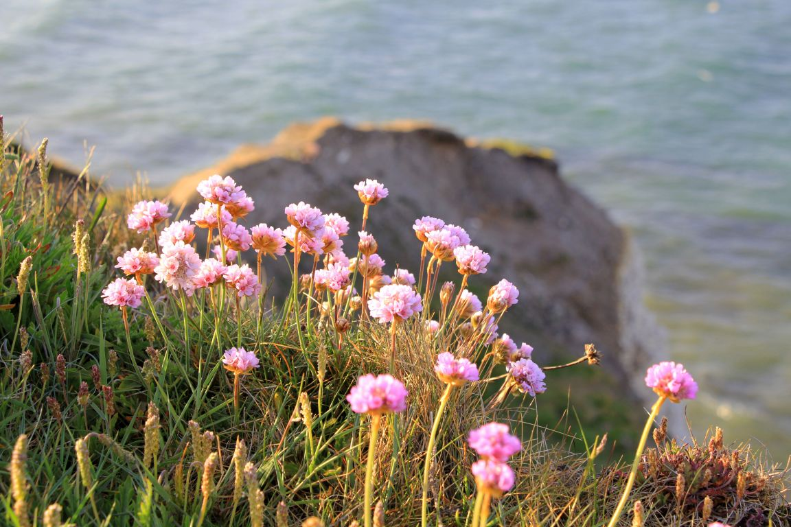 pink sea thrift at Flamborough Head