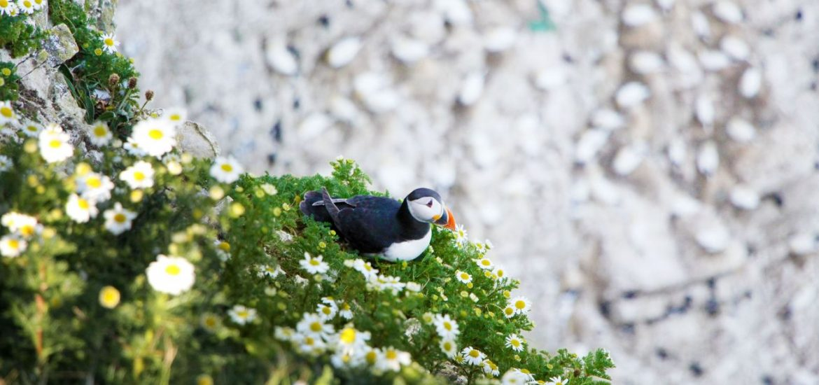 puffins in yorkshire