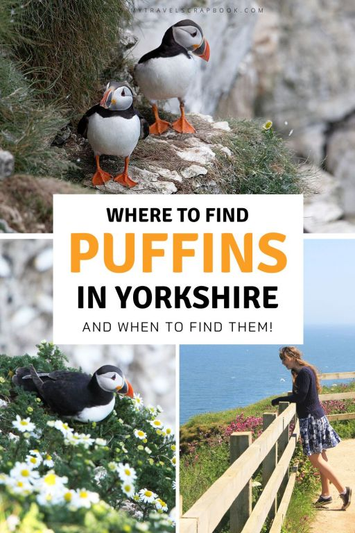 Puffins in Yorkshire! The puffins at Flamborough Head and the puffins at Bempton Cliffs in Yorkshire are not there year-round. Yet if you catch them you are in for a treat! Every early summer you can see puffins in Yorkshire! Puffins can be seen flying, diving, chatting, eating and standing on the chalky white cliffs in the East Riding of Yorkshire. This is one of the best wildlife spectacles in the UK! This is the ultimate guide to finding puffins in Yorkshire! #yorkshire #puffins #wildlife